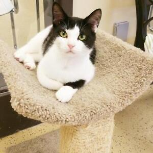 """Adult Male Cat - Domestic Short Hair-black and white: """"Jester"""""""
