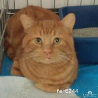 """Young Male Cat - Domestic Short Hair: """"Roger"""""""