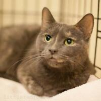 "Adult Female Cat - Domestic Short Hair: ""Lavender"""