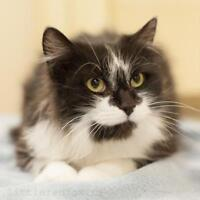 "Adult Female Cat - Domestic Long Hair-black and white: ""Endora"""