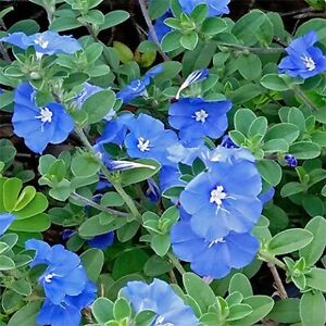 Evolvulus ground cover plants. Blue flowers. Tubestock size