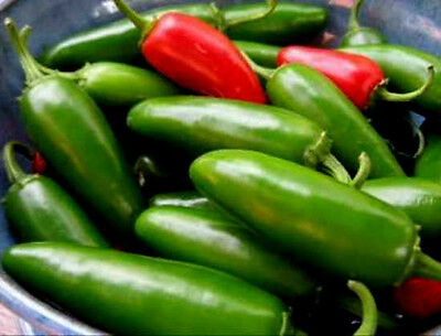 Jalapeno Pepper Seeds, Early Jalapeno, Heirloom Hot Pepper Seeds, Non-Gmo, 50ct