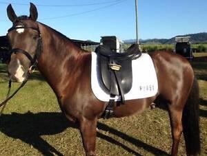 Black Buckskin Galloway Pony - Welsh Arabian Bangalow Byron Area Preview