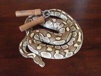 Ball Python Butter 66% het. Albino - Python Royal