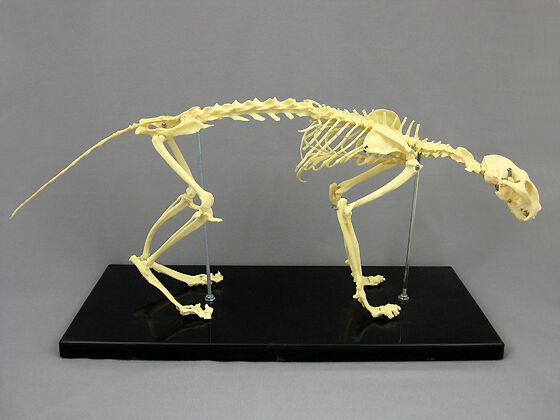 Cat Skeleton, Feline, Prop Decoration Anatomical NEW