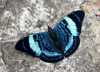ONE REAL BUTTERFLY BLUE PANACEA PERU UNMOUNTED WINGS CLOSED