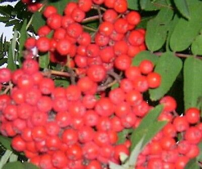 - American Mountain Ash Tree seedling  fruit berry ornamental LIVE PLANT