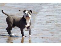 2 blue Old English Bulldog pups