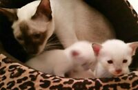 ❤ ❤ ❤MAGNIFIQUES CHATONS SIAMOIS❀BEAUTIFUL SIAMESE KITTENS❤ ❤ ❤