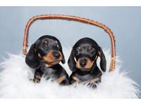 Dachshund puppy's for sale ready to go