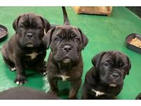 Stunning Cane Corso Pups Champion Sired Price From