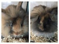 Two gorgeous baby lion head rabbits
