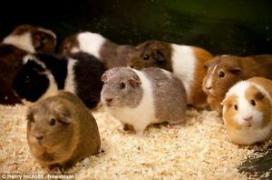 Looking to adopt a female Guinea Pig St. John's Newfoundland image 1