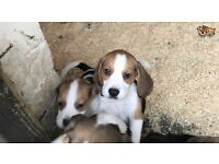 Stunning Kc Pedigree Beagle Puppies Ready Now for sale