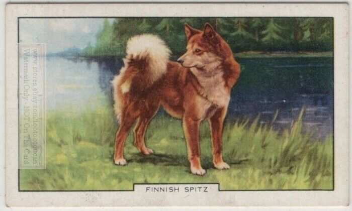 Finnish Spitz Dog Canine Pet 1930s  Ad Trade Card