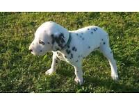 Dalmatian puppys 3 boys left