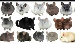 Looking for Chinchillas