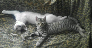 2 - 6 month old femail kittens to loving home
