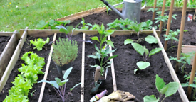 Organic Vegetable Plants🍓