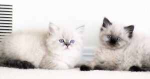 Colorpoint Persian kittens are available for adoption,