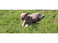 Gorgeous blue fawn French female bulldogs