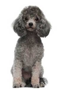 WANTED TO BUY/REHOME TOY POODLE FEMALE PREFER DESEXED Mount Gambier Grant Area Preview