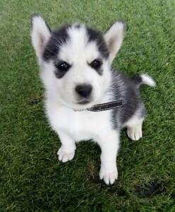 Siberian Husky Puppies Mansfield Park Port Adelaide Area Preview