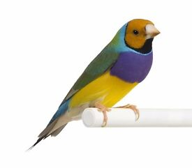 Birds for sale : Parrotlets, Rubino Bourkes, Gouldians