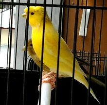 PAIR of GLOSTER CANARIES with CAGE. East Perth Perth City Preview