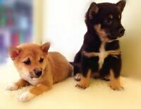 Gorgeous Shiba Inu for Rehoming