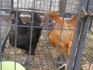 Trio of Young Silkies For Sale