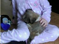 Tiny Shin Tzu puppy