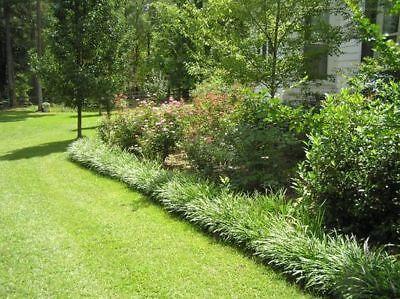 Monkey Rock ( Liriope/ Monkey Grass/ Rock Gardens/Borders/Pathways/ 25 Bare Root Plants )