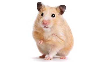 REHOME YOUR HAMSTER WITH ME