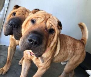"Young Male Dog - Shar Pei: ""New!  Jimmy"""