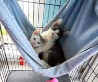 """Young Female Cat - Domestic Short Hair: """"Kittens"""""""