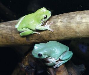 in search of whites tree frog