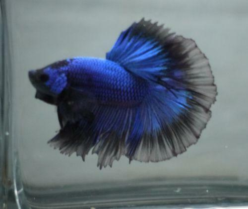 Halfmoon betta live fish ebay for List of fish that can live with bettas