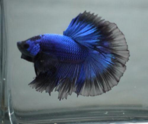Halfmoon betta live fish ebay for Ebay betta fish