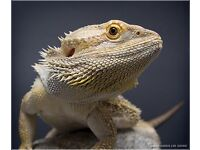 Male Bearded Dragon (2years old)
