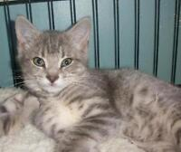 "Baby Female Cat - Domestic Short Hair: ""Neva 15 (Aylmer)"""