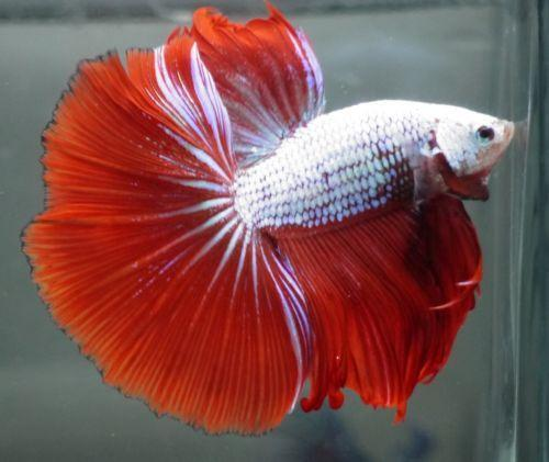 Dragon betta live fish ebay for Buy betta fish