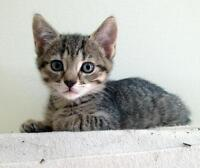 "Young Female Cat - Domestic Short Hair: ""Suave"""