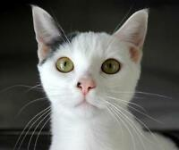 "Young Female Cat - Domestic Short Hair: ""Kathleen"""