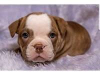 9 week old kc registered female English bulldog