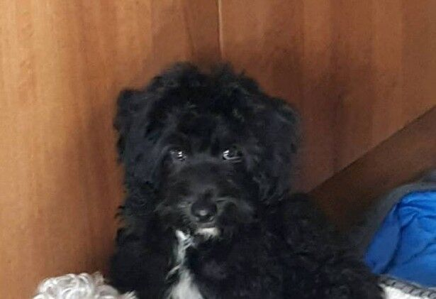SPRINGERDOODLE MALE PUPPY | in Tower Hamlets, London | Gumtree