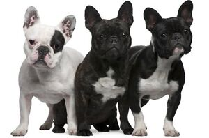 Looking for a french bulldog!