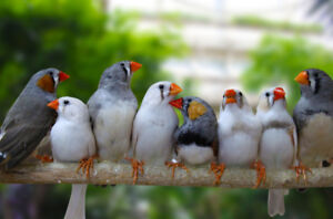 beautiful zebra finch on special now at T T PETS