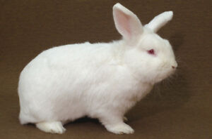 Young New Zealand White or Flemish Giant Male and Female Rabbits
