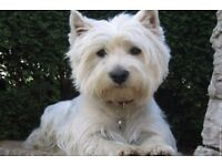 West Highland Terrier (1 year old)